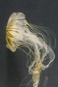 Jellyfish_(6985871810)