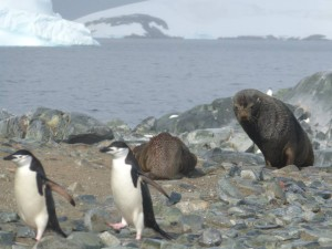 Chinstrap penguins and Fur Seals.